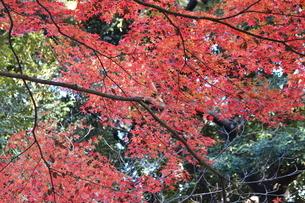 東京都北区 旧古河庭園のもみじ 紅葉の写真素材 [FYI01228060]