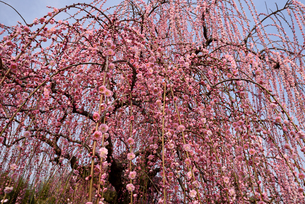 枝垂れ梅の写真素材 [FYI01228115]