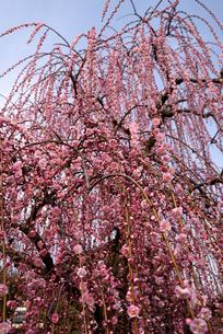 枝垂れ梅の写真素材 [FYI01228117]