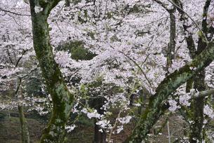 満開の桜の写真素材 [FYI01228118]