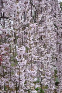 枝垂桜の写真素材 [FYI01228119]