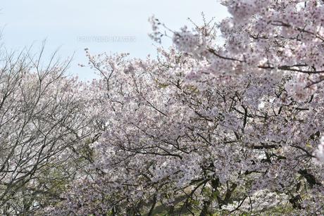 満開の桜の写真素材 [FYI01228120]