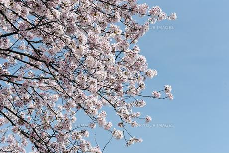満開の桜の写真素材 [FYI01228121]