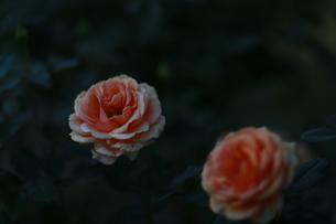花の写真素材 [FYI01228134]