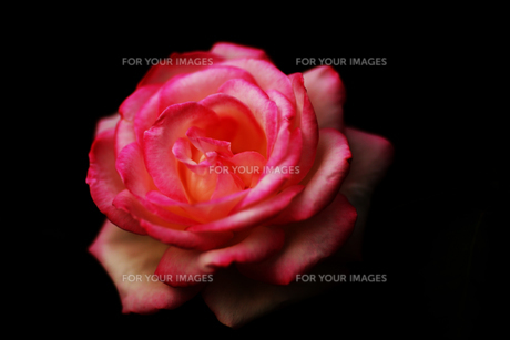 花の写真素材 [FYI01228144]