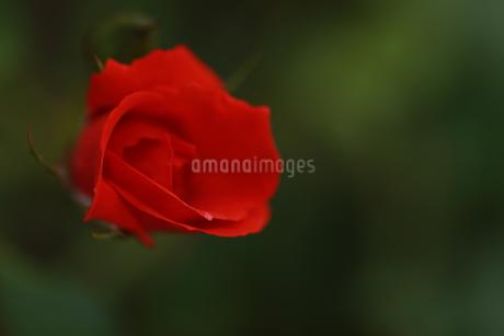 花の写真素材 [FYI01228147]