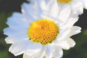 花の写真素材 [FYI01228153]