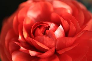 薔薇の写真素材 [FYI01228160]