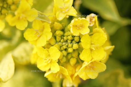菜の花の写真素材 [FYI01228161]
