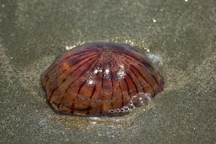 浜に打ち上げられたアカクラゲの写真素材 [FYI01228322]
