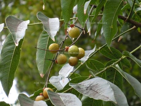 枝に生るムクロジの実の写真素材 [FYI01228353]