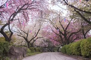 飛鳥山公園の道を覆うソメイヨシノと里桜の写真素材 [FYI01228444]