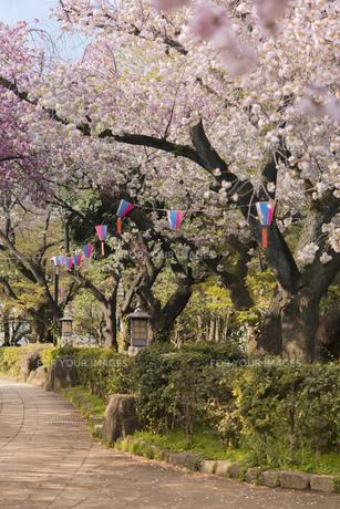 飛鳥山公園を覆うソメイヨシノ桜の写真素材 [FYI01228448]