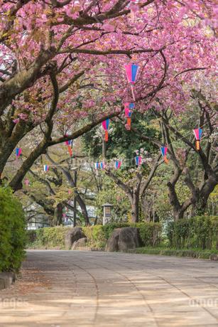 飛鳥山公園の桜の花の写真素材 [FYI01228452]