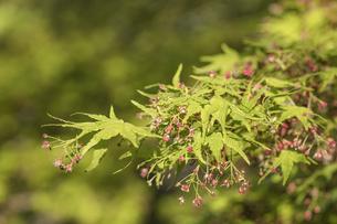 飛鳥山公園の紅葉花のクローズアップの写真素材 [FYI01228461]