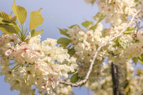 飛鳥山公園の淡黄色のウコン桜の写真素材 [FYI01228466]