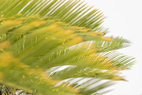 久米島のヤシの木の葉っぱの写真素材 [FYI01228473]
