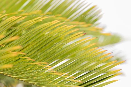 久米島のヤシの木の葉っぱの写真素材 [FYI01228474]