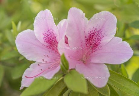 西ヶ原の花と森の東京病院に咲くアザレアの写真素材 [FYI01228479]