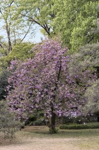 六義園のピンク色の華山の桜の木の写真素材 [FYI01228480]