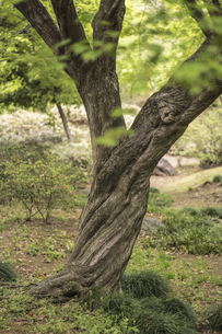 六義園のねじれた幹の巨大なカエデの写真素材 [FYI01228490]