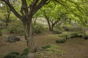 六義園の芦部茶屋跡に立つカエデの写真素材 [FYI01228491]