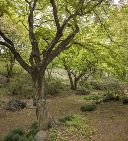 六義園の芦部茶屋跡に立つカエデの写真素材 [FYI01228492]