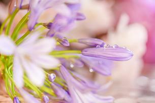 朝露の付いたアガパンサスの花の写真素材 [FYI01228525]