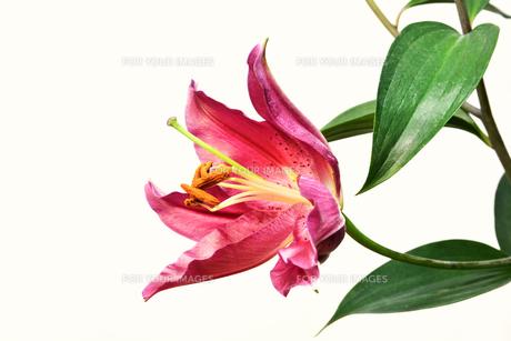 プリンセスカサブランカの花の写真素材 [FYI01228588]