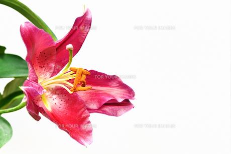 プリンセスカサブランカの花の写真素材 [FYI01228589]