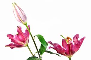 プリンセスカサブランカの花の写真素材 [FYI01228590]