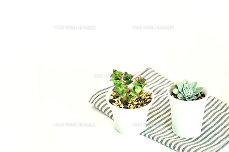 2種類の多肉植物の写真素材 [FYI01228802]