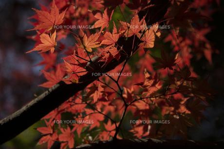 紅葉の写真素材 [FYI01228827]