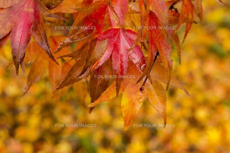 紅葉の写真素材 [FYI01228829]
