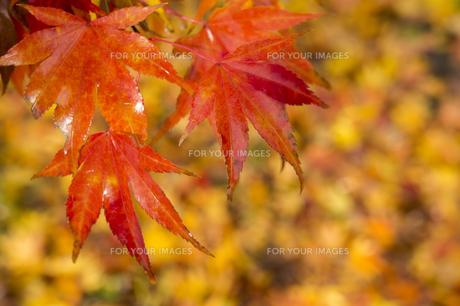 紅葉の写真素材 [FYI01228830]