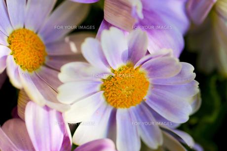 花の写真素材 [FYI01228964]