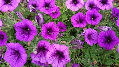 紫色の衝羽根朝顔 ペチュニア purple petuniaの写真素材 [FYI01228975]