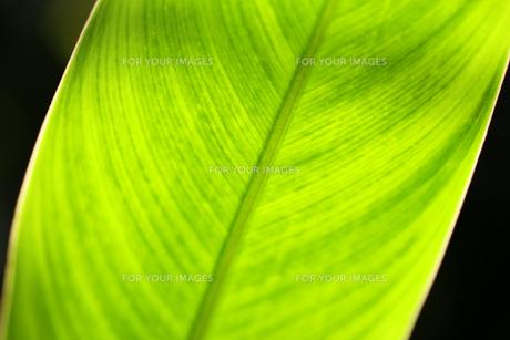 葉の写真素材 [FYI01229255]