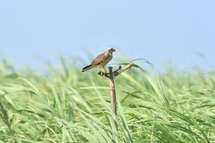 宮古島/キビ畑と鷹の写真素材 [FYI01229291]