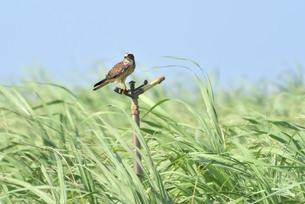 宮古島/キビ畑と鷹の写真素材 [FYI01229292]