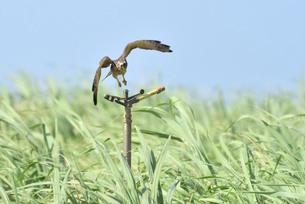 宮古島/キビ畑と鷹の写真素材 [FYI01229304]