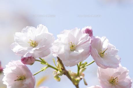 八重桜の写真素材 [FYI01229525]