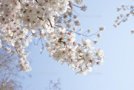 桜の写真素材 [FYI01229528]