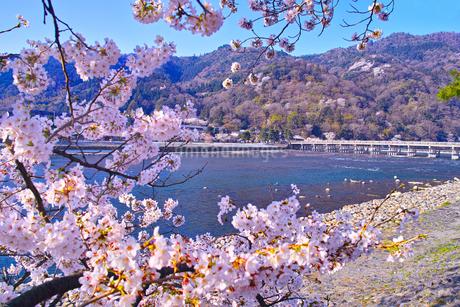 京都嵐山、春の桜咲く渡月橋の写真素材 [FYI01229746]