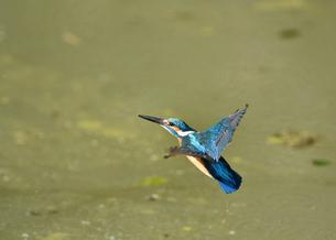 カワセミの飛翔の写真素材 [FYI01229755]