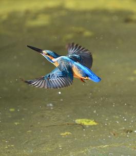 カワセミの飛翔の写真素材 [FYI01229756]