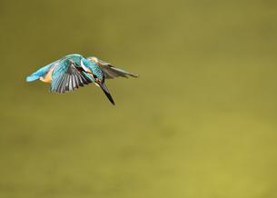 カワセミの飛翔の写真素材 [FYI01229757]