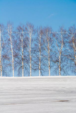 融雪剤が撒かれた雪の畑と青空 美瑛町の写真素材 [FYI01230037]