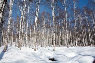 冬のシラカバ林と青空の写真素材 [FYI01230038]