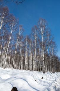 冬のシラカバ林と青空の写真素材 [FYI01230039]
